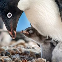 Disneynature Penguins: Which Ages is it For?
